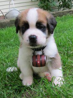 Saint Bernard puppy. Soooo cute!! #Switzerland #Schweiz #Suisse #Svizzera #StBernard