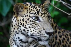 Learn about Sri Lankan Leopard . One of the Mammals found in Sri Lanka Sri Lanka, Conservation, Mammals, Panther, Panthers, Canning, Black Panthers