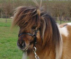 Shetland Pony stallion Figgy du Mury-Marais