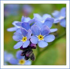 Forget-me-not, first flower I ever planted as a kid with my Mom.