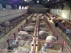 The lambing sheds (I wish we could have a setup like this!)
