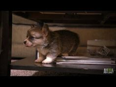 Corgi pups learn to walk &climb (this video shows the full sequence of two puppies tumbling in unison off a low coffee table shelf) Baby Puppies, Cute Puppies, Dogs And Puppies, Little Dogs, Big Dogs, Baby Animals, Cute Animals, Dog Leg, Pet Organization