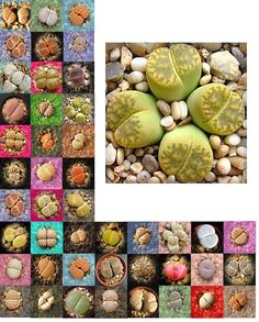 Living Stones Seed (Lithops species mix) - Growing Cactus seeds is fun and…
