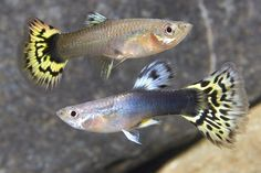 GUPPY DELTA 1/2 BLACK YELLOW PAIR Poecilia reticulata