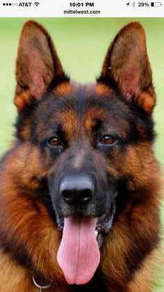 Mittelwest German Shepherds - Wonder Lake, IL, United States. Usher... Mittelwest Stud dog. Wow he is beautiful.