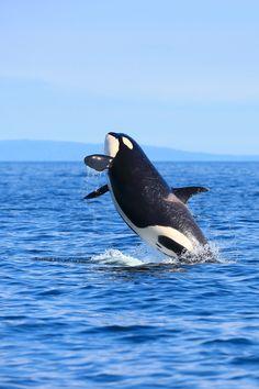 Orca in Hokkaido, Japan