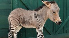 """Ippo the """"zonkey"""", a zebra-donkey hybrid was born, July 2013 at a Florence reserve in Italy"""