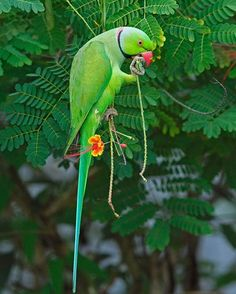 Green Ringneck Parrot Found In Pakistan