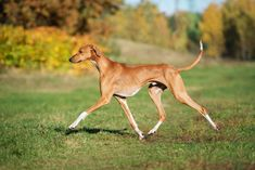 Perros Basenji, Basenji Dogs, Beagles, Large Dog Breeds, Large Dogs, Yorkshire Terrier, Le Plus Grand Chien, Dog Breed Names, Colley