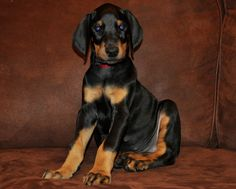 Black Doberman Pinscher Puppy