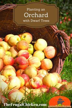 Planting an orchard is easy, but there's a few simple rules you should follow. Here's how to plant dwarf trees for fresh fruit in your own backyard.