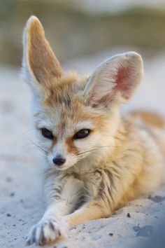 take action. stay inspired. — kingdom197:   Fennec Fox | by asbimages.co.uk