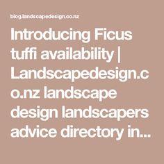 Introducing Ficus tuffi availability | Landscapedesign.co.nz landscape design landscapers advice directory info