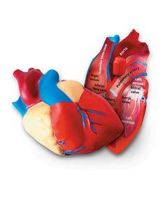 Human Heart Cross-Section Model