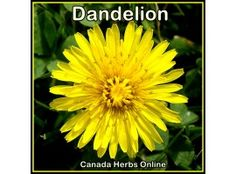 Dandelion - Miracle Gift from Mother Earth
