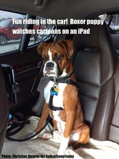 So DogGone Funny!: 16634 - Boxer Puppy in Car Watching Cartoons on an iPad