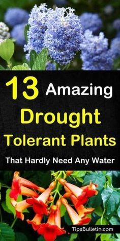 Discover 13 Colorful Drought-Tolerant Plants For Your Front Yard Or Flowering Pots. Ideal For Garden Containers And Front Yards In Zone 5 Hot Areas Like California, Texas, Arizona, Nevada Or New Mexico. The Perfect Perennials For Full Sun Conditions. Full Sun Perennials, Full Sun Plants, Full Sun Garden, Full Sun Container Plants, Full Sun Flowers, Full Sun Shrubs, Plants For Containers, Flowering Bushes Full Sun, Plants That Like Sun