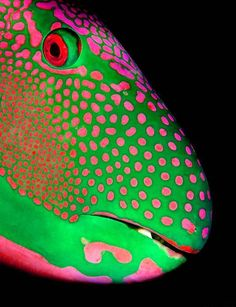 ZSL animal photography prize 2013 - in pictures - Credit: Michael Gallagher/ZSL. - ZSL animal photography prize 2013 – in pictures – Credit: Michael Gallagher/ZSL Animal Photography Prize 2013 Parrotfish portrait, by Michael Gallagh – Underwater Creatures, Underwater Life, Ocean Creatures, Underwater Pictures, Colorful Fish, Tropical Fish, Colorful Animals, Beautiful Creatures, Animals Beautiful