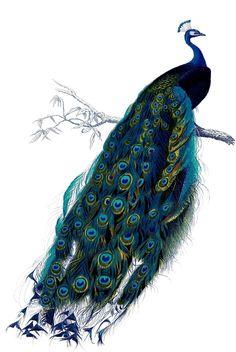 Peacock 1035x1546