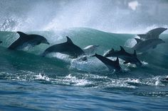 dolphins surfing off the coast of South Africa (by Greg Huglin)
