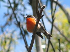 Male Flame Robin, Victoria Aus