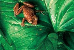 The Puerto Rican Coqui.  If you have lived in Puerto Rico, any time thereafter you will think of Puerto Rico when you hear it's call