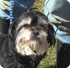Germantown, MD - Shih Tzu/Schnauzer (Miniature) Mix. Meet Chelsie a Dog for Adoption.