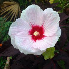 Hibiscus, Summer Storm