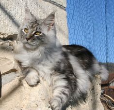 If Ur Interested At Maine Coons Silver Lucky Maine Coon