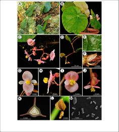 Novelties in Begonia sect. Coelocentrum: B. longgangensis and B. ferox from limestone areas in Guangxi, China (PDF Download Available)