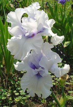 Low Cost Flowers Shipping And Delivery - An Anniversary Reward Without A Significant Selling Price Tag Winter Waltz Iris Iris Flowers, Exotic Flowers, Amazing Flowers, White Flowers, Planting Flowers, Beautiful Flowers, Iris Garden, Garden Plants, Clematis