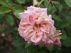 'Mlle Franziska Kruger' rose, 1879