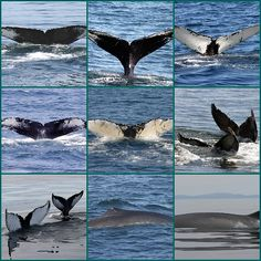 whale watching bar harbor -you never grow tired of seeing the whales