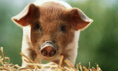 2015 Feng Shui Tips for the Chinese Zodiac Sign of Pig: Pig Zodiac Sign in 2015 Feng Shui Guide, Feng Shui Rules, Feng Shui Art, 2016 Chinese Zodiac, Chinese Astrology, Chinese Zodiac Signs, Fung Shui Home, Feng Shui Animals, Feng Shui History