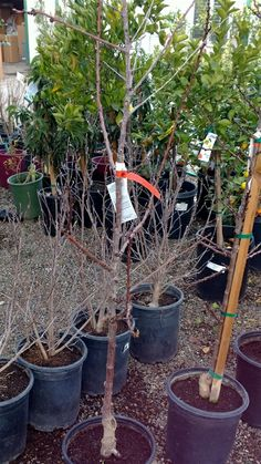 Give the Pixiecot a try if you love apricots and space is at a premium, this tree staying small and manageable.  Grower info describes this tree as 'compact' with medium sized fruit of fine quality, a desirable addition for the home gardener.  Fruit on the Pixiecot ripens early June.  Estimated chill hours 500, the tree hardy to USDA zone 6 and higher.  Grow in a container if you wish, or if you do plant in the ground, you can clip to shape if used in large planter beds or to line fence or…