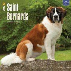 f7a2e75835d1 The Saint Bernard is a tough working dog originally used as a rescue dog in  the