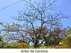 El árbol de Carolina produce unas flores rosadas con una gran cantidad de estambres. Su nombre científico esPseudobombax ellipticum.   Tiene muchos usos en la medicina popular.