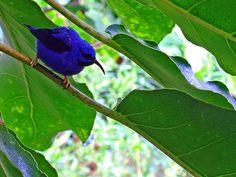 Blue Hummingbird by Just Jo, via Flickr