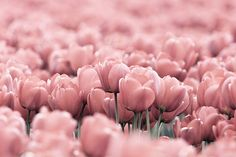 Dusky tulips