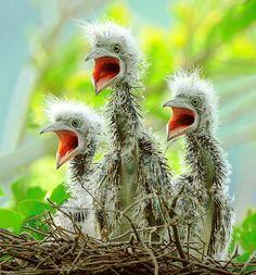 Baby Malay Night Herons - The Triplets