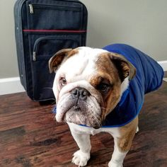 When Searching For English Bulldogs For Sale In Texas You Should