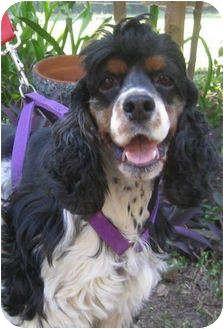 Houston, TX - Cocker Spaniel. Meet Sparky, a dog for adoption. http://www.adoptapet.com/pet/6992402-houston-texas-cocker-spaniel