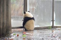 Waiting waiting and fucking waiting for my crazy panda Panda Love, Cute Panda, Red Panda, Panda Panda, Happy Animals, Cute Funny Animals, Animals And Pets, Cute Friends, Cute Creatures