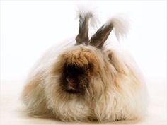 Angora Rabbit - SO FLUFFY!!! http://www.ivillage.com/worlds-fluffiest-bunny/7-a-550162