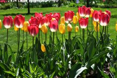 Wanderlust | Tulip Time in Holland, Michigan | Garden Variety