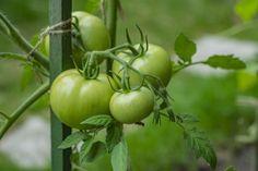 Zelená rajčata nemusíte vyhazovat! Vkuchyni je lze využít na skvělá jídla Vegetables, Food, Essen, Vegetable Recipes, Meals, Yemek, Veggies, Eten