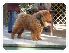 Çin Aslan Köpeği