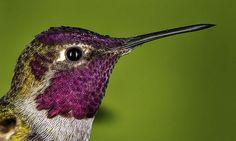 Google Image Result for http://fineartamerica.com/images-medium/hummingbird-head-shot-with-raindrops-william-lee.jpg