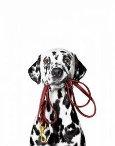 Hund Dalmatiner hält eigene Leine im Maul, Canidae, Säugetier, Hunderasse, Fleischfresser, gepunktete Rasse, Trick Control Cravings, Low Carbohydrate Diet, Cbd Hemp Oil, No Carb Diets, Health Coach, Vectors, High Resolution Picture, Mouths, Profile
