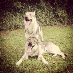 Brotherhood-love love love ❤️ cane lupo cecoslovacco Cronos & Cassiopea Nibis Regem